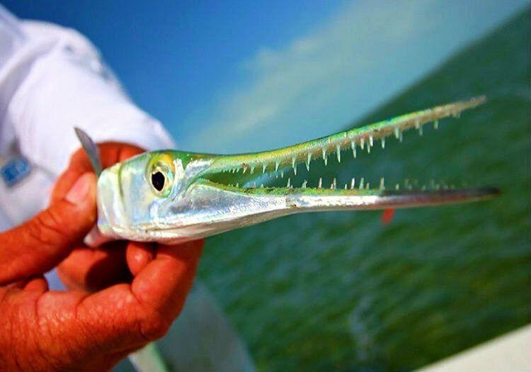Endonezya Zarganası pek çok balıkçının korkulu rüyasıdır, sivri gagasıyla her sene birilerini yaralamaktadır.