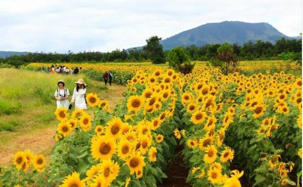 Hình ảnh cánh đồng Hoa Hướng Dương Đà Lạt