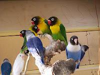 Mengenali Burung Lovebird Dakocan lebih dekat