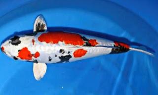 Jenis Ikan Koi Kin Showa