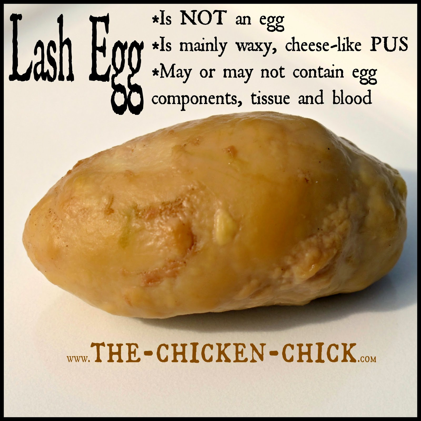 Lash eggs consist primarily of coagulated pus, not yolk or egg white. I took the liberty of  renaming the lash egg more appropriately, a Pus Coagulegg.  It's got a nice ring to it, don't you think? Unfortunately for the hen, the Pus Coagulegg is no laughing matter as the prognosis for a bird producing them is poor, at best.