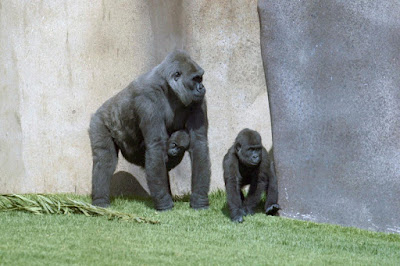 New method reveals high similarity between gorilla and human Y chromosome