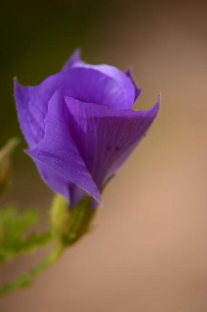 alyogyne huegelii, blue hibiscus, photography, desert garden, australian plants, amy myers, small sunny garden