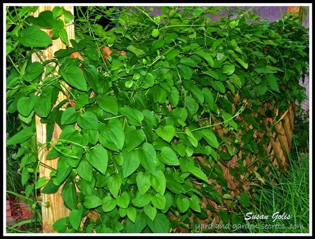 Yard And Garden Secrets Sweet Autumn Clematis Growing