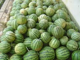 pupuk semangka, pupuk tanaman semangka, budidaya semangka, cara pemupukan semangka, penyubur tanaman semangka