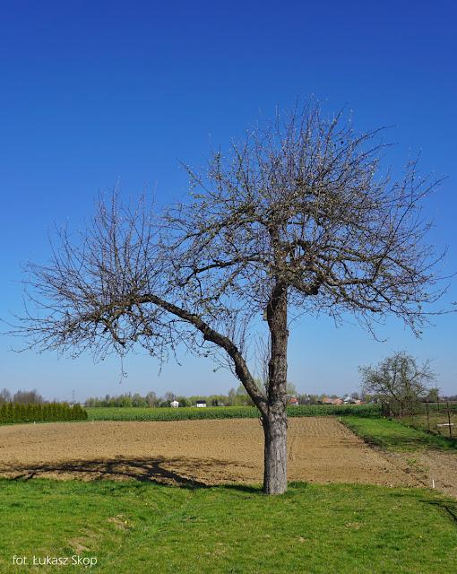 zdjęcie starej jabłoni