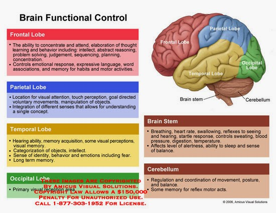 Brain Lobes And Their Functions Pdf - candgancambcatho