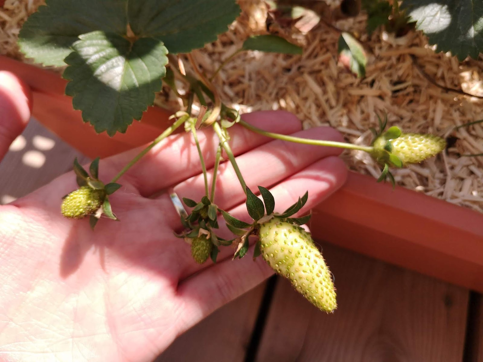 evolution-fraises-balcon