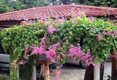 http://tipspetani.blogspot.com/2017/09/tanaman-hias-yang-merambat-dan-terus.html