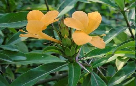 Tumbuhan herbal ini dapat berkembang biak dengan biji yang mengandung senyawa flavonoida dan polifenol. Kedua senyawa ini dapat berperan aktif untuk menurunkan kadar asam urat dalam darah dan membuangnya bersamaan dengan urine.
