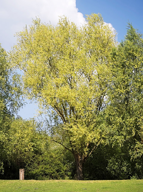 Willow tree covered with catkins
