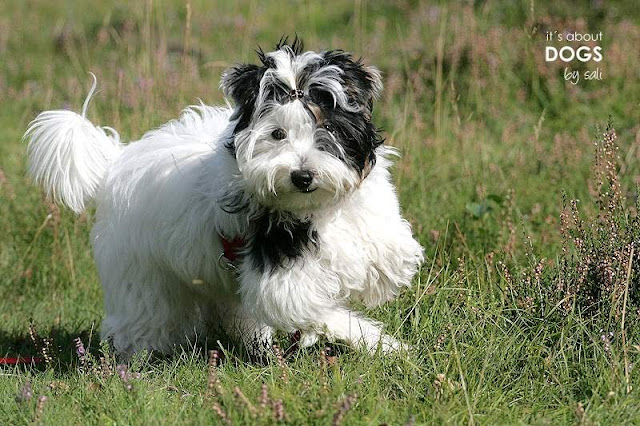 Hundeblog: Biewer Yorkshire Lotta