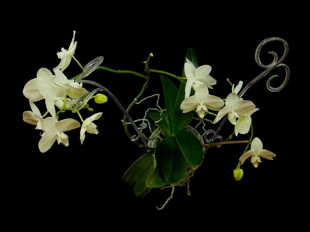 storczyk kwiaty