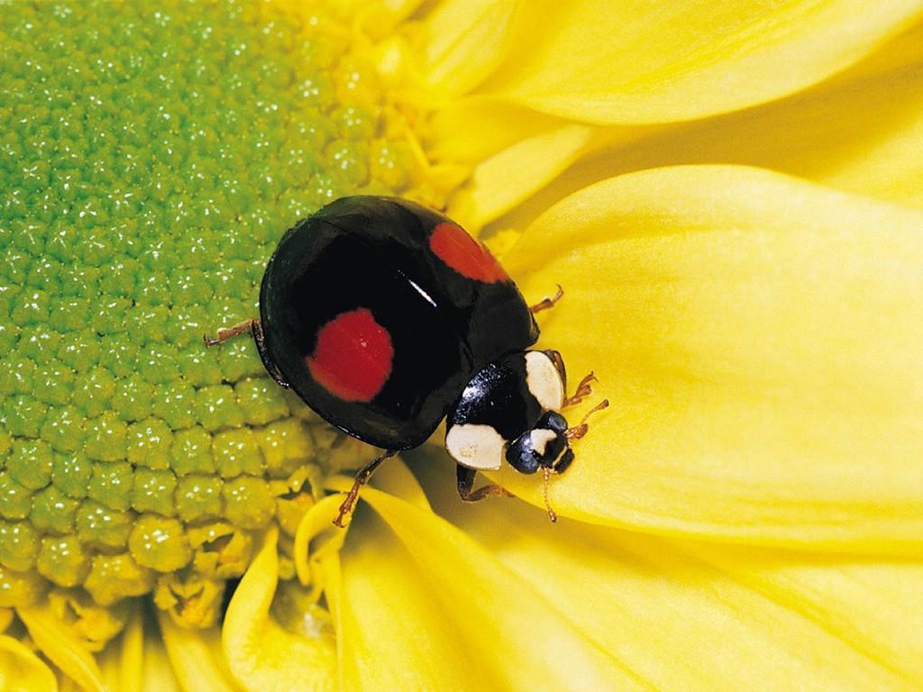 Flying Black Beetle animals world-thitima