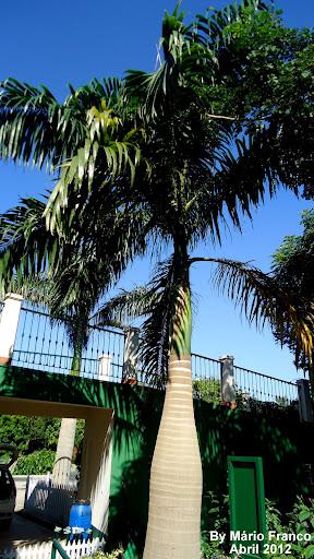 Cuba Royal palm