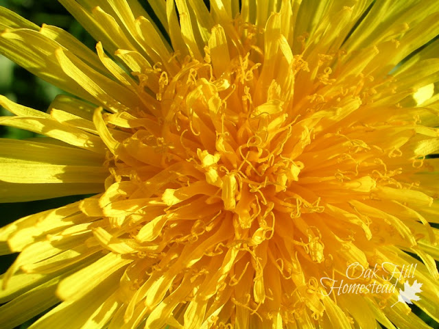 How to make dandelion salve