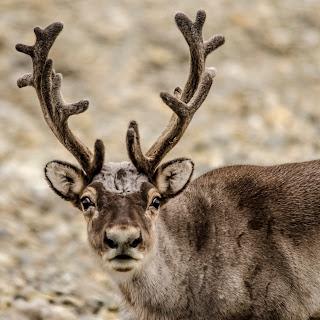 gipsvika gipsdalen svalbard spitzberg renne