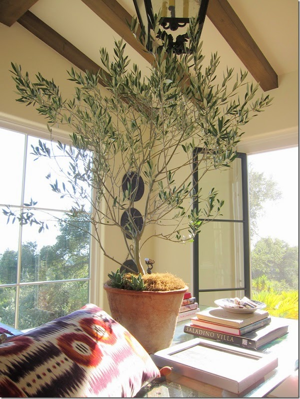 Cup Half Full Indoor Plants The Olive Tree