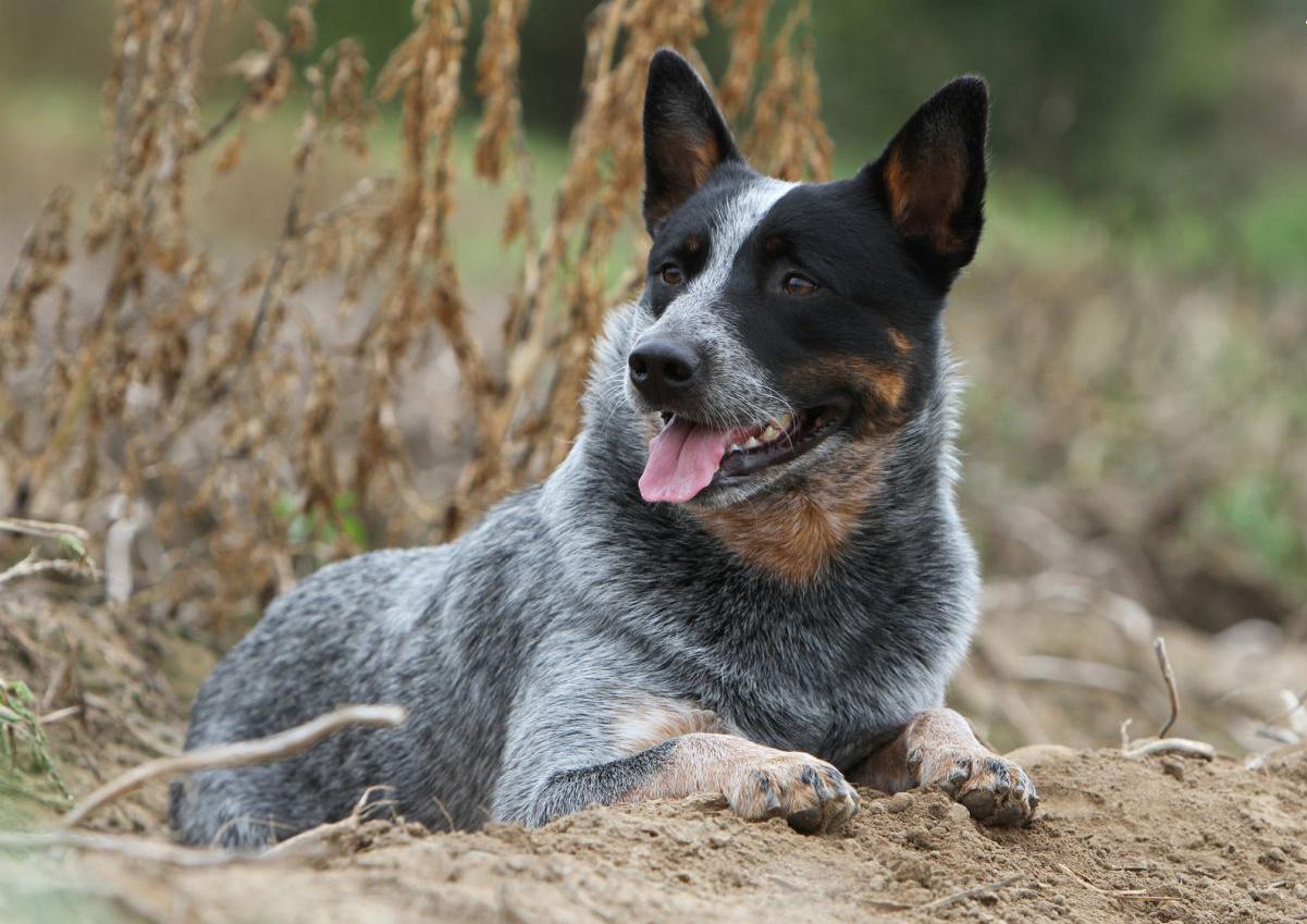 Dog-breed-Australian-Cattle-Dog