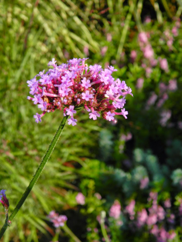 Verbena bonariensis tall verbena by garden muses-not another Toronto gardening blog