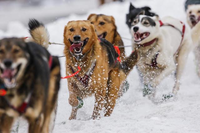 Iditarod Trail Sled Dog Race across Alaska 2016