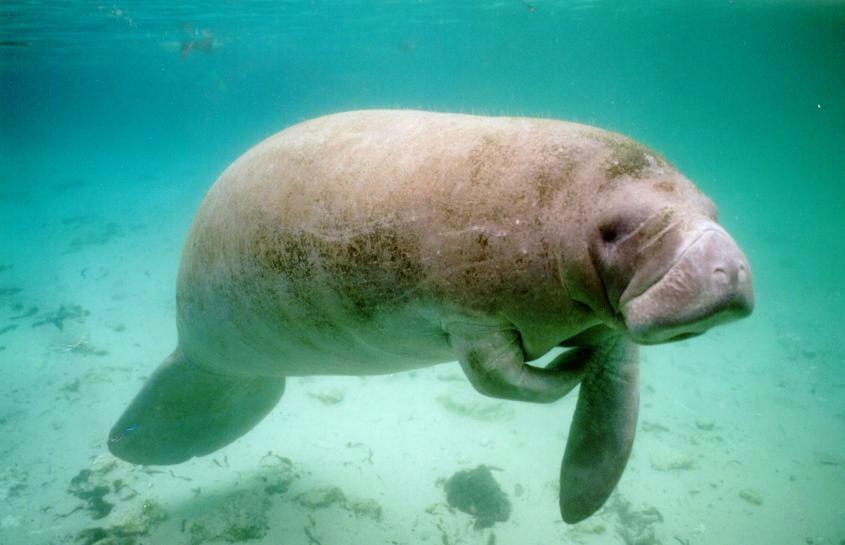 Steller's Sea Cow | Animal Wildlife - photo#6