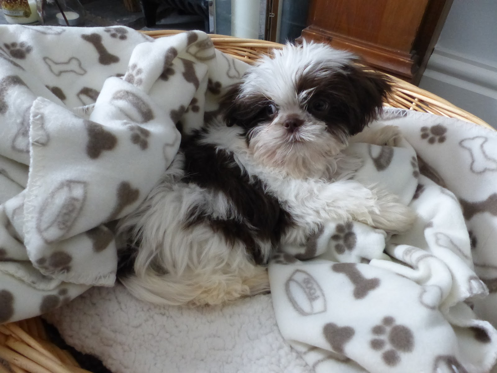 this is a picture of my dog coco a shih tau