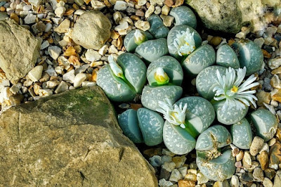 Planta de pedra - Lithops