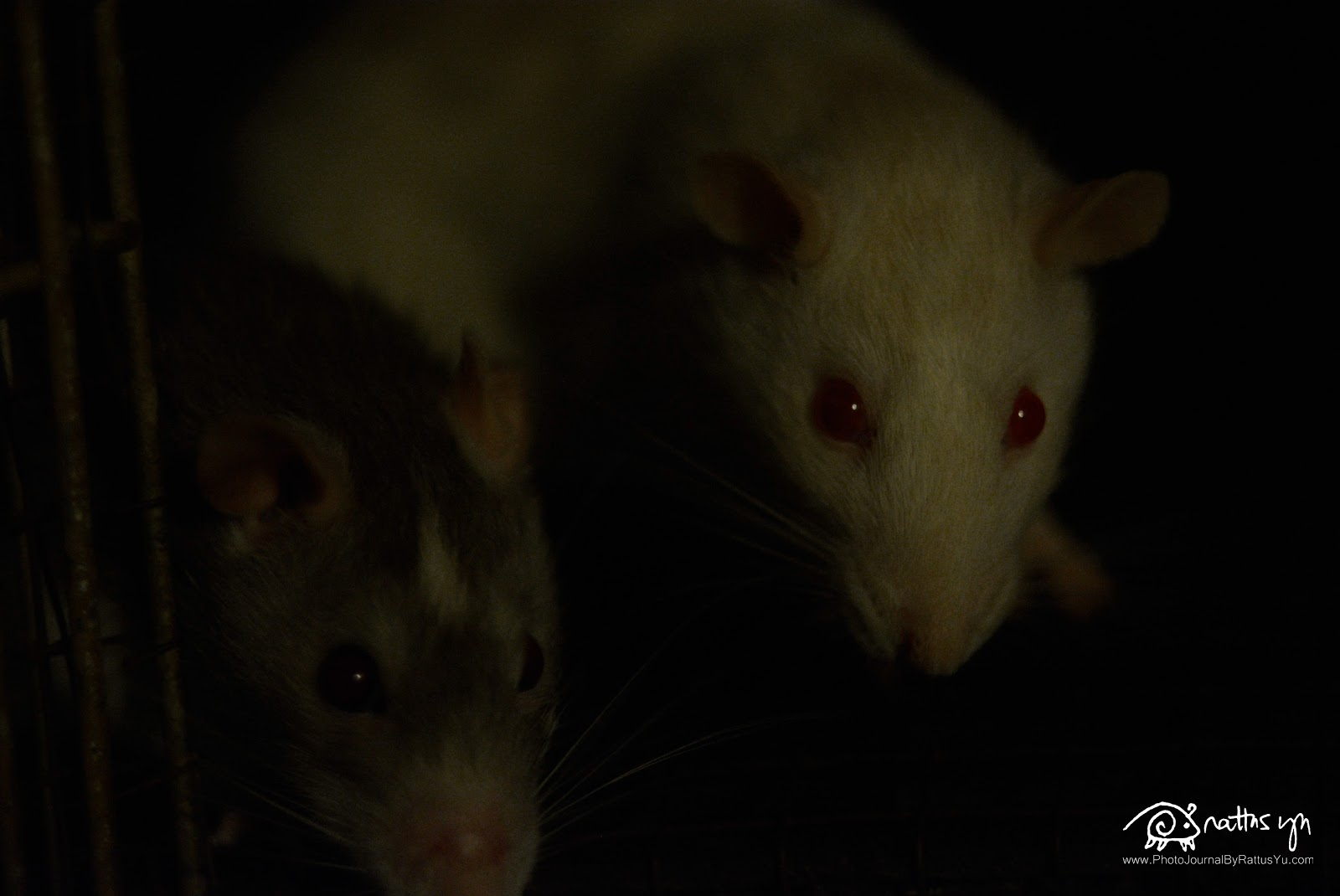 Rats Make For An Excellent Caretaker... Hire One NOW!