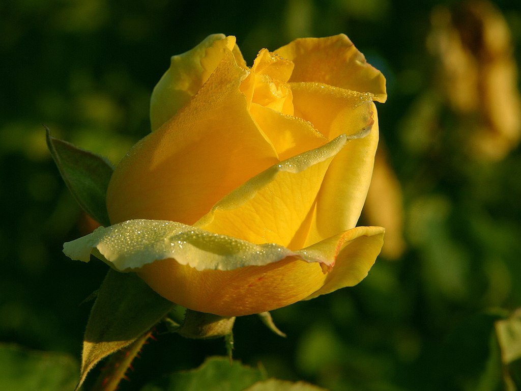 Yellow Rose Flowers Flower Hd Wallpapers Images