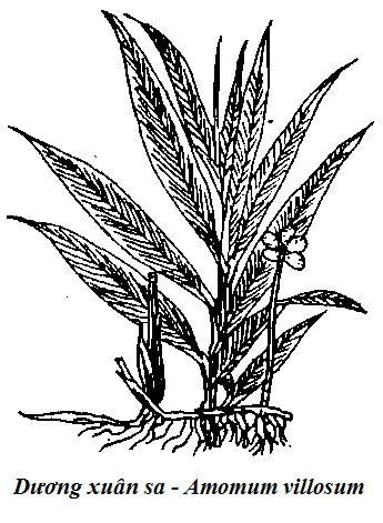 Hình vẽ Dương xuân sa - Amomum villosum - Nguyên liệu làm thuốc Chữa Bệnh Tiêu Hóa