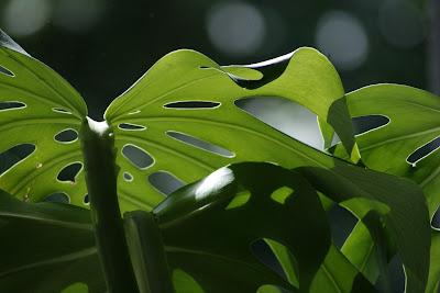 https://pixabay.com/pl/monstera-li%C5%9B%C4%87-natura-zielony-1328825/