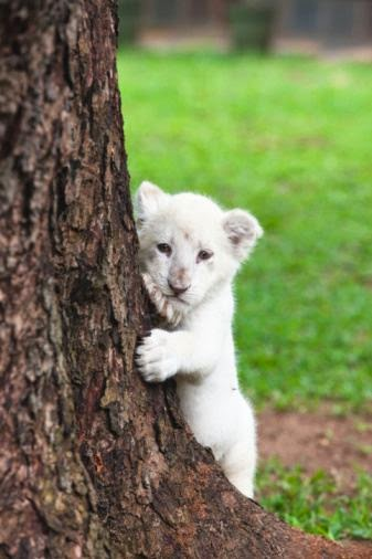Interesting Facts about White Lions | Do You Know?