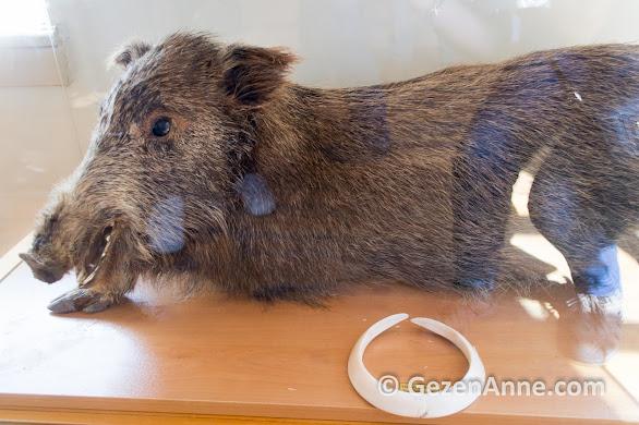Dilek yarımadasında yaşayan yaban domuzu