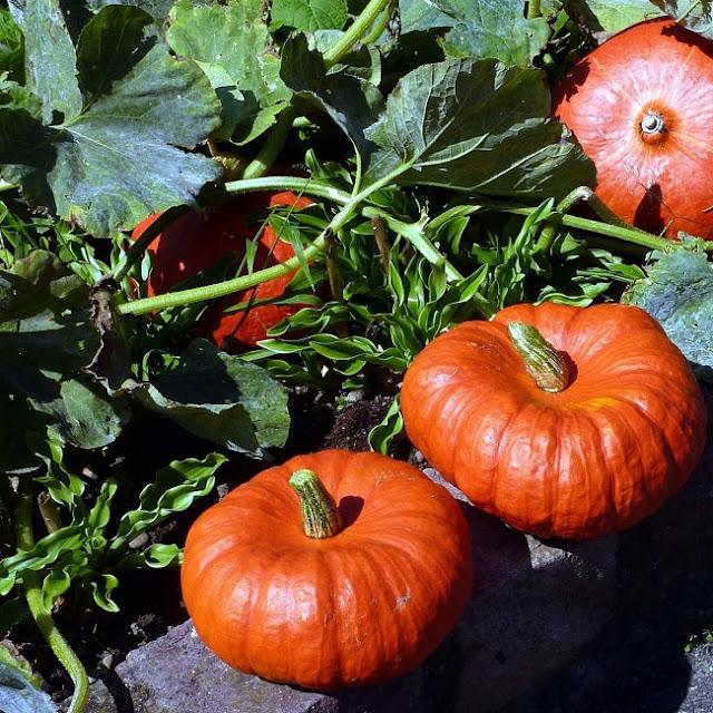 Uganda pumpkin plants