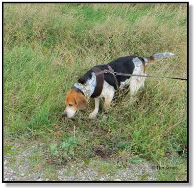 Beagle haben einen ausgeprägten Geruchssinn