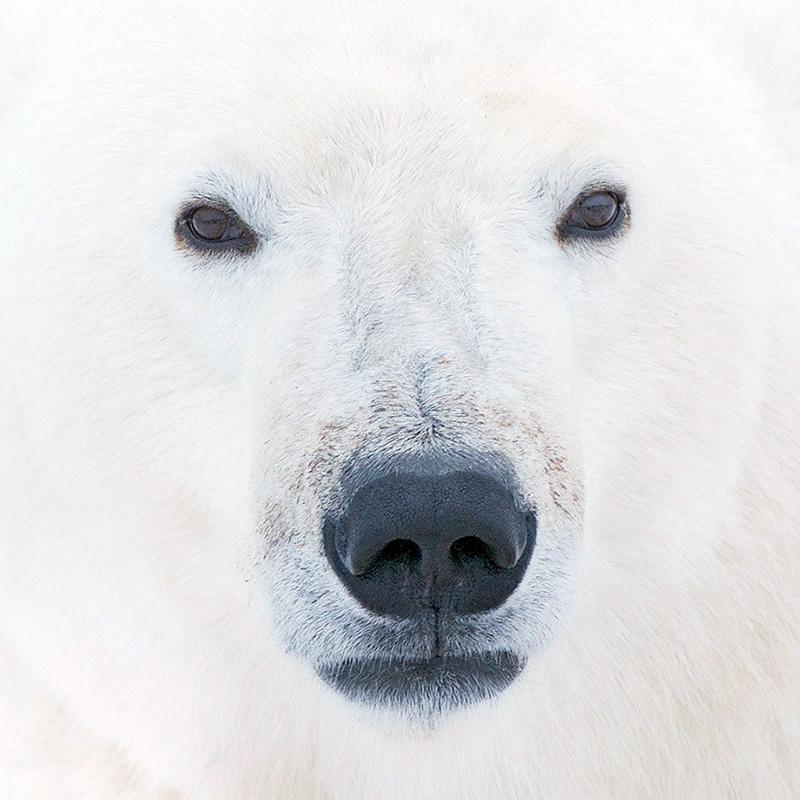 Hritik Roshan Hd Wallpaper Polar Bear Wallpaper