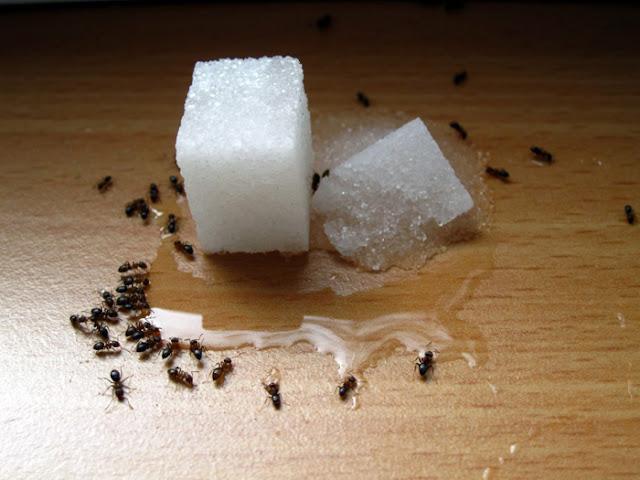 Cara Mengusir Semut dari Rumah secara Alami