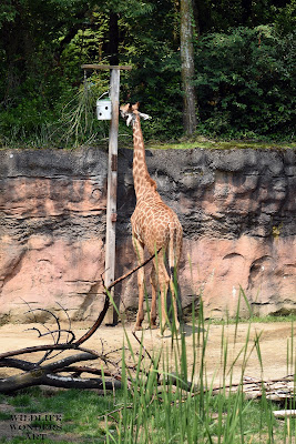 Oregon zoo giraffe eating out of a fake tree