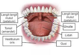 anatomi gigi dan mulut