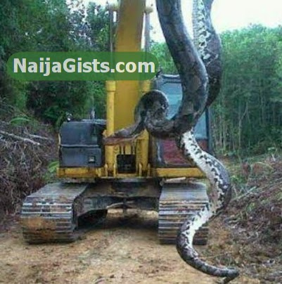 Photo: Giant 56 Foot Snake Killed In Edo State Nigeria Cave