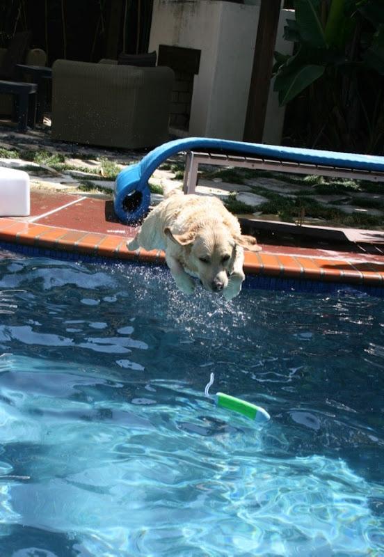 Diving Labrador Cooper