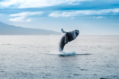 Whale Jumping Out of the Water in North Iceland
