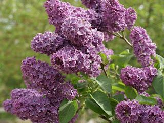Syringa vulgaris 'Bardsee'