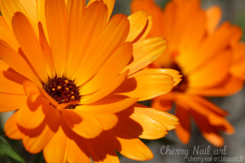 Fleur de souci macro