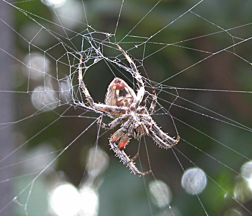 The Barn Spider Fun Animals Wiki Videos Pictures Stories