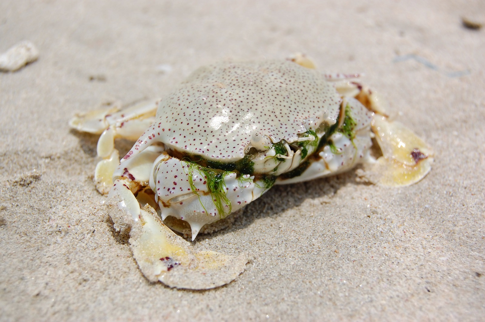 4e45d465e Real Monstrosities: Moon Crab