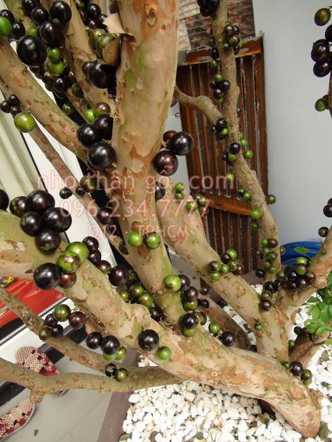 Nho thân gỗ - Thêm sự lựa chọn cho người trồng cây