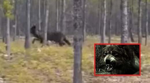 Gigante 'lobo terrible' filmado persiguiendo a un perro en el bosque