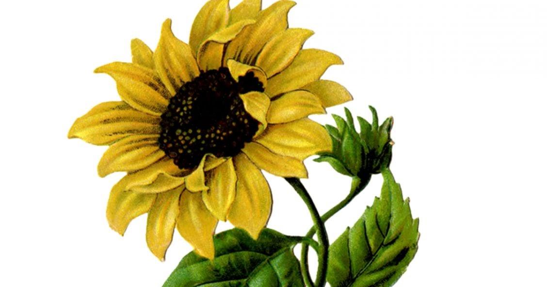 Vintage Sunflower 77